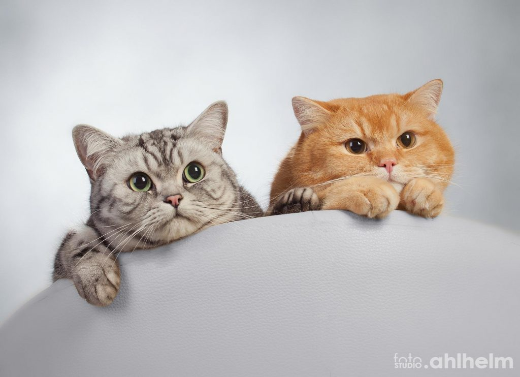 Fotostudio Ahlhelm Tiere Zwei Katzen