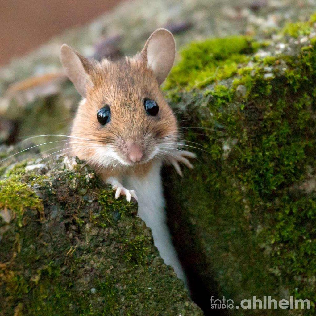 Fotostudio Ahlhelm Tiere Outdoor Haselmaus im Park