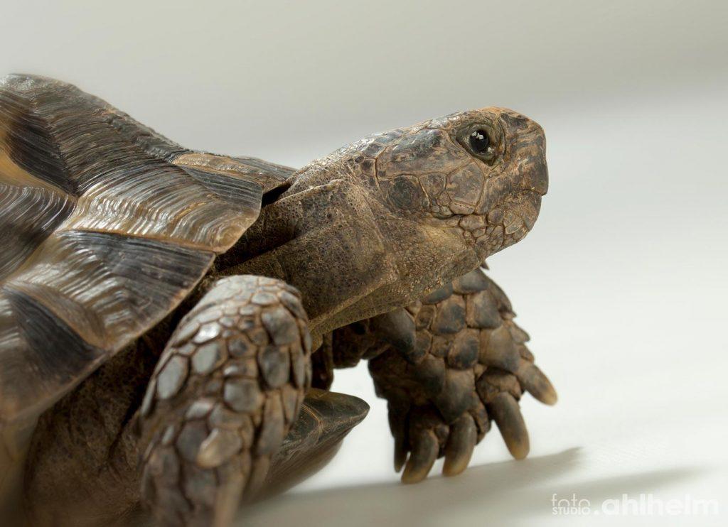 Fotostudio Ahlhelm Tiere Schildkröte Portrait